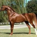 Alada Baskin, Crusoe's paternal grandsire, who was twice Reserve National Champion Stallion