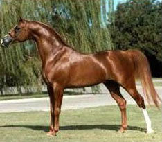 Alada Baskin, Crusoe's paternal grandsire, who was twice Reserve National Champion Stallion