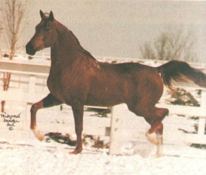 *Krakov, Crusoe's maternal grandsire, bred by Tersk Stud in Russia and imported
